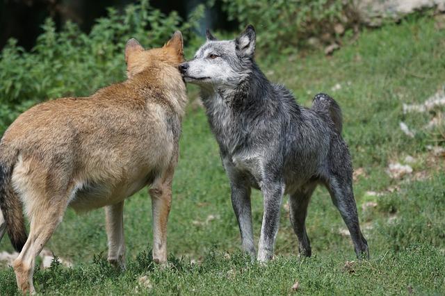 Indijanska priča o dva vuka